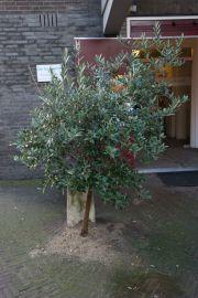 olijfboom3